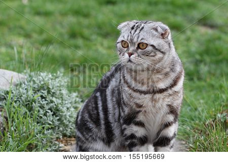 Portrait of a beautiful purebred housecat / British Shorthair kitten