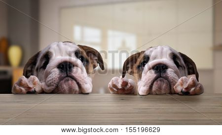 Two dogs English bulldog puppies at the table in the kitchen