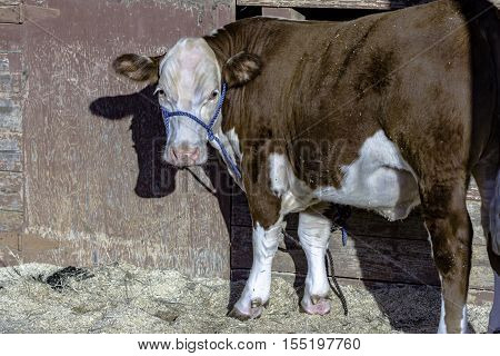 Red and white Hereford heifer tied to a weathered barn with pealing red paint