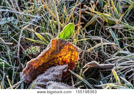 yellow and green foliage in the frosty grass in morning light