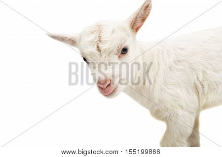 a white young goat on a white background