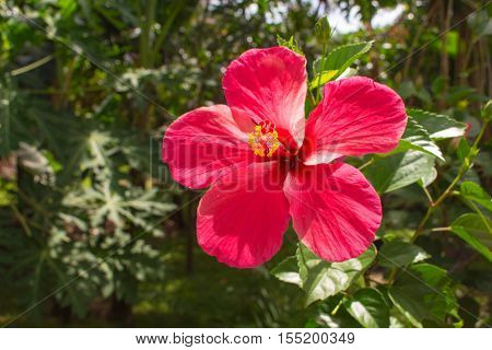 Pink flower on tropical background. Bright hibiscus flower on the branch with fresh green leaves. Asian flora with symbolic meaning. Big open bloom with five petal and long pistil. Summer travel photo