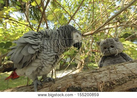 Gray parrot Jaco sitting on a tree branch play with cat and angry