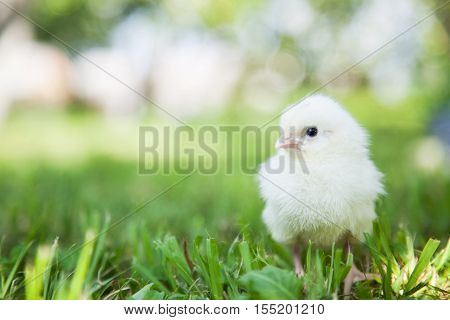 Cute little fluffy chick on the grass