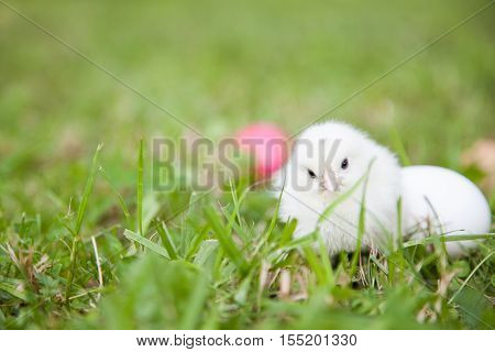 Cute little chick with Easter pink egg on the grass