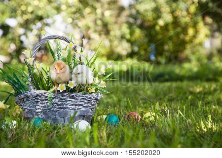 Little cute chicks with basket on the grass