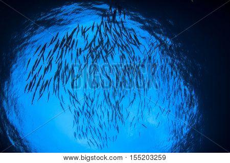 School barracuda fish in ocean