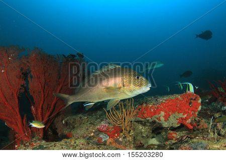 Sweetlips fish on coral reef underwater
