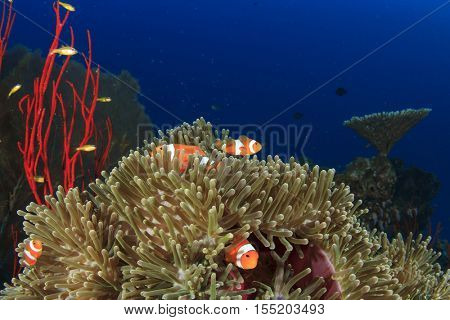 Clownfish fish coral reef and anemone