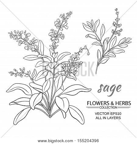 sage herb vector illustration on white background