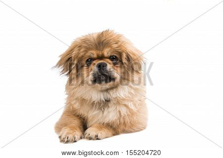 Pekingese small doggy portrait on white background