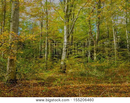 The Forest in Autumn, Slebech Wood, Pembrokeshire, Wales.