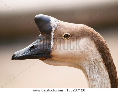 Anser cygnoides f. domestica - Chinese goose with typical basal knob