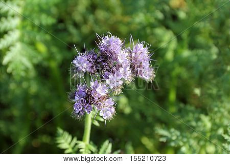 Close-up of Phacelia tanacetifolia on the field - Selected focus narrow depth of field
