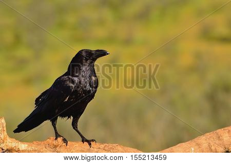 Raven Perched On A Log
