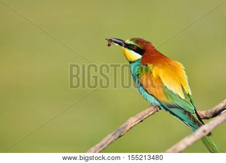 Bee-eater On Leafless Branch.