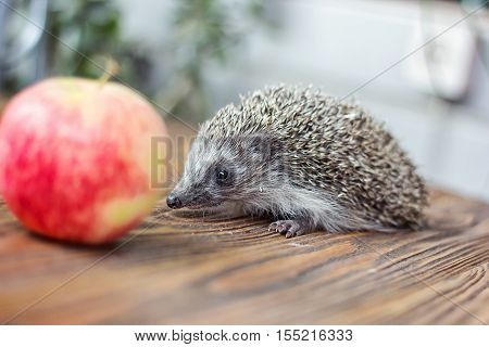 Cute young funny hedgehog, Atelerix albiventris, stands near an apple. Charming spiny european hedgehog (erinaceus albiventris) on wooden background.
