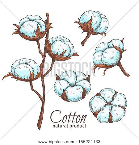 Hand drawn color cotton flowers . Vector illustration in sketch style.