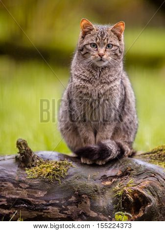 Cute European Wild Cat With Distictive Tail