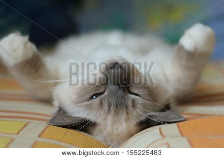 beautiful cat in the interior close-up sleeping gray-black elite cat small Depth of field funny cat