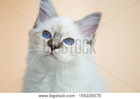 beautiful cat in the interior close-up sleeping gray-black elite cat small Depth of field beige background