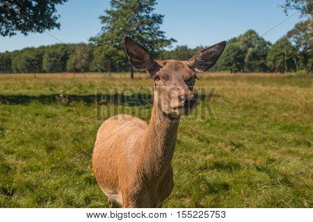 Deer grazing in the field of summer