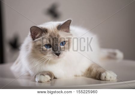beautiful cat on the table gray-black elite cat small Depth of field