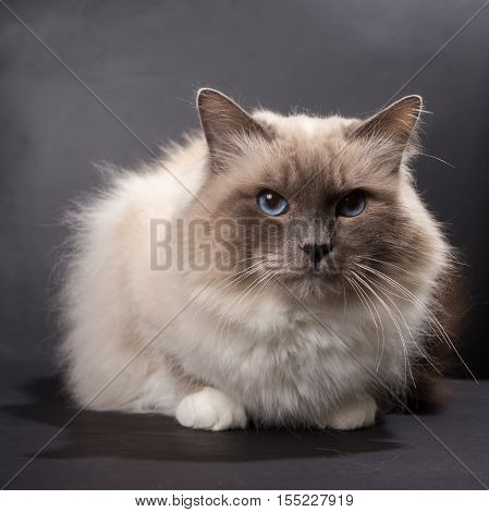 handsome cat in studio close-up luxury cat studio photo black background isolated