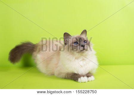 beautiful cat in studio close-up luxury cat studio photo green background hroma key
