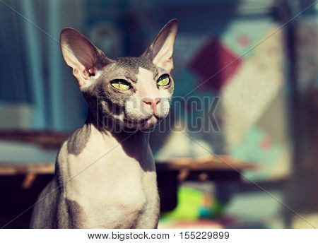Charming   portrait  cat of don Sphynx breed . Favorite Pets .