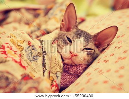 Cat of don Sphynx breed is sleeping on the bed , on the pillow under the blanket   in scarf . Sick and tired .