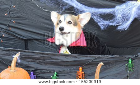 Dracula dog in cape coffin trunk or treat