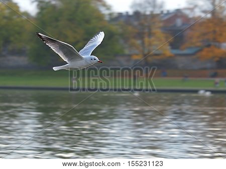 Seagull on the Vistula River. Krakow, Poland November 05, 2916 White Seagull during flight over the Vistula river in Krakow.