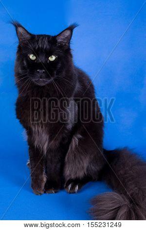 Maine Coon on a blue backgrounda huge black cat studio photo