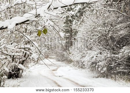 Small country road in winter with snow and on trees and a couple of leaves on a branch