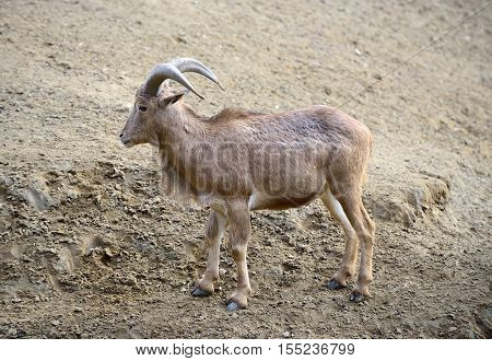 One ammotragus lervia or barbary sheep at zoo