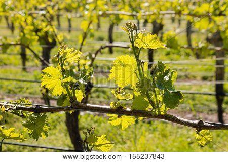 vine leaves growing in vineyard in early spring