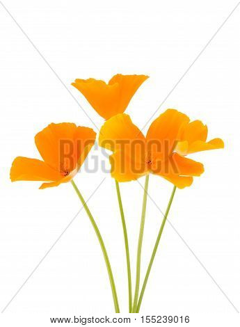 orange poppy flower on a white background