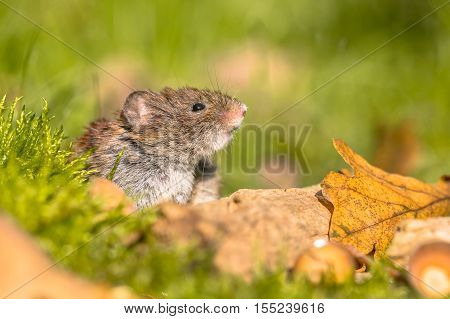 Bank Vole Peeking From Behind Log
