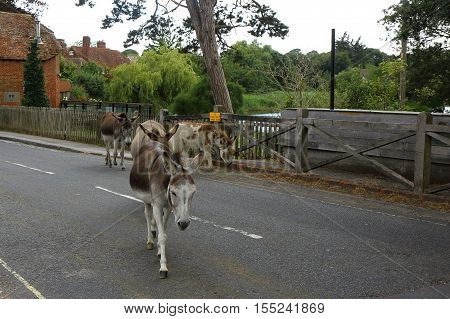 Donkeys in the middle of the road at Beaulieu in the New Forest