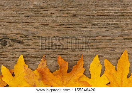 Golden Maple Leaf Border On Wooden Background