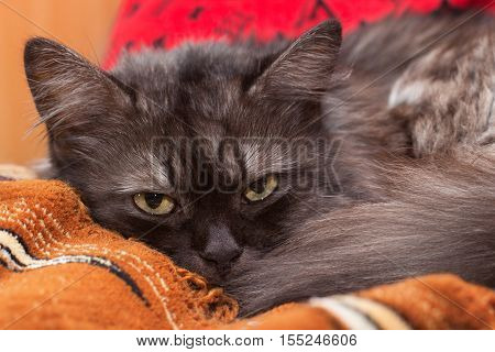 Smoky turkish angora lying on the bed and watching