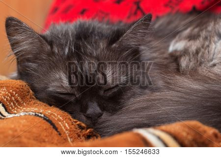 Smoky turkish angora sleeping on the bed and having sweet dreams.