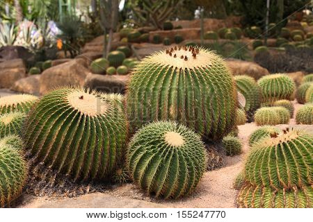 Large spherical cacti Thailand South East Asia