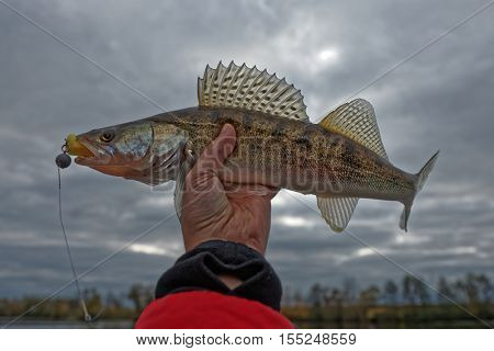 Walleye in fisherman's hand, HDR style