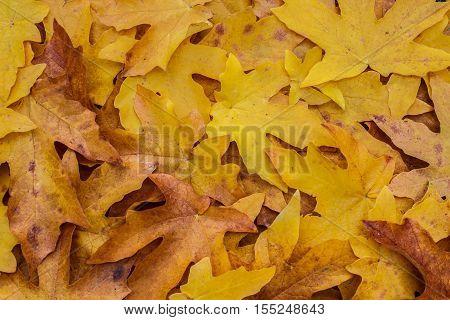 Golden Maple Leaf Litter