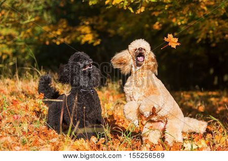 Two Poodles With Autumn Leaves