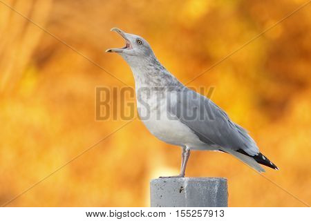 Herring Gull Calling With Autumn Foliage In Background - Canada