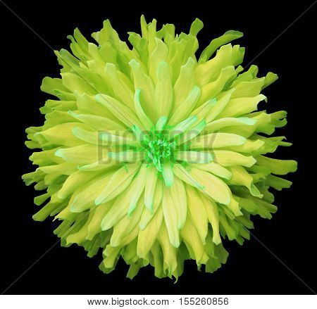 yellow-green flower on a black background isolated with clipping path. Closeup. shaggy autumn flower. Nature.