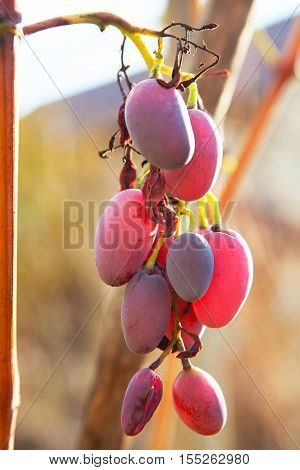 rosy grape hanging on the vine in late autumn